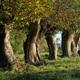 circuit GPS de rando, Chemin du Douet Tourtelle - Cormeilles : Les arbres têtards sur le chemin