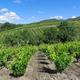 circuit GPS de rando, La Source de la Berre -  Cascastel des Corbières : Vignes prés de Cascastel des Corbieres © Richard Randall - Wikipédia