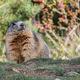 circuit GPS de rando, Le Sentier des Marmottes, Mont-Dauphin : Une marmotte profite des premières heures ensoleillées de la journée