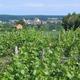 circuit GPS de rando, Le circuit des Vignes - Châteaumeillant : Vignoble de Chateaumeillant au Printemps © ameliris - Wikipédia