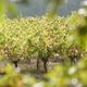 circuit GPS de rando, De vignes en forêts dans le Frontonnais - Fronton   : Crédit photo © Patrick Poupart