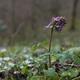 trail GPS : hike, Les combes de Joinville : Plante vernale (fleurissant au printemps), la Corydale à tubercule plein