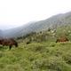 circuit GPS de rando, GR 20® Liaison du refuge d'Asinau à Quenza  : Chevaux aux bergerie d'Asinau